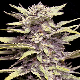 G13 Labs Seeds Blueberry Gum