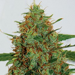 G13 Labs Seeds C99